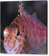 Pixy Hawkfish, Kimbe Bay, Papua New Canvas Print