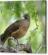 Plain Chachalaca  Canvas Print