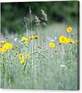 Plains Yellow Daisy Canvas Print