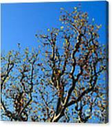Plane Tree In Autumn Canvas Print