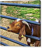 Please Exonerate Me - Billy Goat Canvas Print