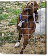 Please Exonerate Me 2 - Billy Goat Canvas Print