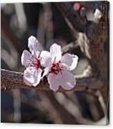 Plum Blossoms 2 Canvas Print