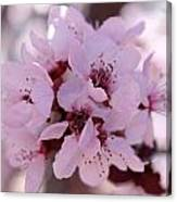 Plum Blossoms 4 Canvas Print