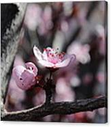Plum Blossoms 9 Canvas Print