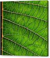 Poinsettia Leaf IIi Canvas Print