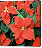 Poinsettia Varieties Canvas Print