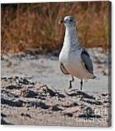 Poised Seagull Canvas Print