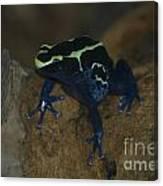 Poisonous Frog 01 Canvas Print