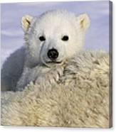 Polar Bear Cub Canada Canvas Print