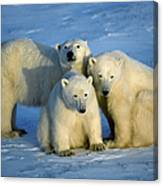 Polar Bear With Cubs Canvas Print