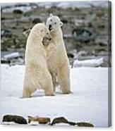 Polarbears, Churchill, Manitoba Canvas Print