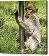 Pole Dancing Macaque Style Canvas Print