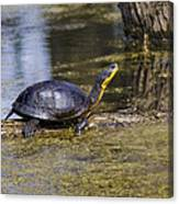 Pond Turtle Basking In The Sun Canvas Print