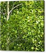 Poplar Tree And Leaves No.368 Canvas Print