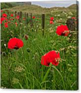 Poppies By The Roadside In Northumberland Canvas Print