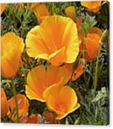 Poppies (eschscholzia Californica) Canvas Print