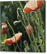 Poppies In A Field In Provence Canvas Print