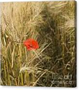Poppies  In A Field Of Barley   Canvas Print