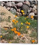 Poppies N River Rocks Canvas Print