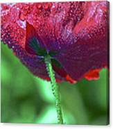 Poppy And Dewdrops Canvas Print