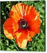 Poppy Blossom Canvas Print