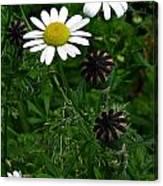 Poppy Pods And Daisy Petals Canvas Print