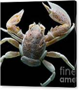 Porcelain Crab Canvas Print