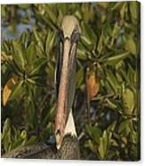 Portrait Of A Brown Pelican Pelecanus Canvas Print
