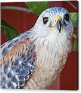 Portrait Of A Hawk Canvas Print