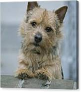 Portrait Of A Norwich Terrier Canvas Print
