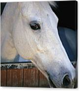 Portrait Of A White Horse Looking Canvas Print
