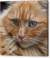 Portrait Of An Orange Kitty Canvas Print