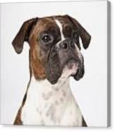Portrait Of Boxer Dog On White Canvas Print