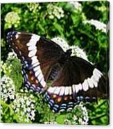 Posing Butterfly Canvas Print