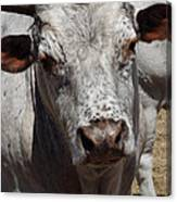 Posing Cow Canvas Print