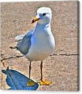 Posing Gull Canvas Print