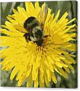 Posterized Bumble Bee Canvas Print
