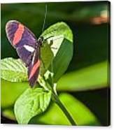 Postman Butterfly Canvas Print