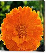 Pot Marigold  Canvas Print