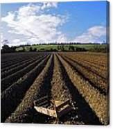 Potato Field, Ireland Canvas Print