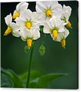 Potato Flowers (solanum Tuberosum) Canvas Print