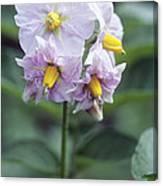 Potato (solanum Tuberosum 'charlotte') Canvas Print