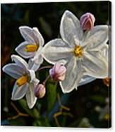 Potato Vine Blossom Canvas Print