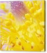 Prairie Crocus Anemone Patens Canvas Print