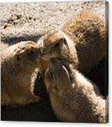 Prairie Dog Gossip Session Canvas Print
