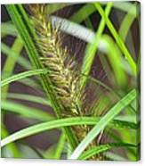 Prairie Dropseed Canvas Print