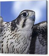 Prairie Falcon In Flight Canvas Print