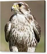 Prairie Falcon Perches On The Ground Canvas Print