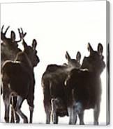 Prairie Moose Saskatchewan Canvas Print
